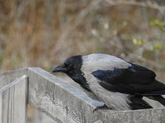 (Passeriformes: Corvidae) Corvus cornix, Kråka / Hooded crow (holgeric77) Tags: karlstad värmlandslän sweden se passeriformes corvidae corvuscornix