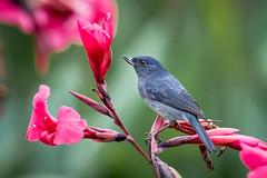 Slaty Flowerpiercer (Melis J) Tags: bird costarica slatyflowerpiercer diglossaplumbea costaricaendemic nikond500 nikon200500