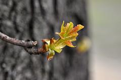 new leaves of the tree (rafasmm) Tags: lodz łódź poland polska europe nature spring new life leaves micro outdoor park reymonta city