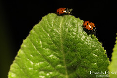 Lady Bug (Gonzalo Gatica Photography) Tags: gonzalo gatica photography canon las vegas nevada night plants insects lady bug