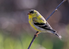 American Goldfinch -9613 (RG Rutkay) Tags: americangoldfinch backyard birds home nature plumagechange spring summerwintercolours urban wild