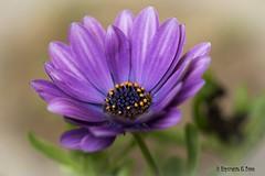 Spring (Otra@Mirada) Tags: primavera flor flores jardín margarita morado lila flower hojas