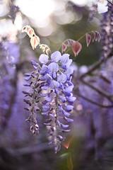 (Leela Channer) Tags: wisteria flower purple bokeh nature light morning creeper