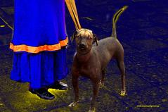 AZTEC DOG (Xoloitzcuintle). An important member of the Community. (Viktor Manuel 990.) Tags: aztecdog xoloitzcuintle perroazteca perro dogs digitalart arte digital querétaro méxico victormanuelgómezg artedigital