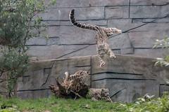 Flying leo:-) (Saarblitz) Tags: flyingleo flightshowatthesnowleopards snow leopard katzen groskatzen raubkatzen action show tier