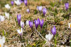 Krokusse (oonaolivia) Tags: krokus crocus wildflowers blumen flowers frühling spring walking nature