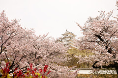 Castle Tower (moaan) Tags: himeji hyogo japan jp castle himejicastle architecture cherrytrees cherryblossoms blossoms blossoming inblossom fullblossom april springtime utata 2017 canoneos5dsr ef1635mmf4lisusm
