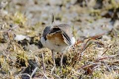 Northern lapwing from behind - Vanellus vanellus (timohannukkala) Tags: bird d7100 ilmarinjärvi nature nikon töyhtöhyyppä vanellus vanellusvanellus northern lapwing