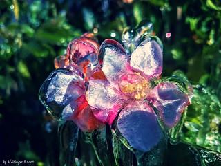 Iced apple blossom / Vereiste Apfelblüte