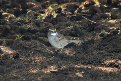 White-Throated Sparrow Out And About 009 - Zonotrichia Albicollis (Chrisser) Tags: birds bird sparrows sparrow whitethroatedsparrows whitethroatedsparrow zonotrichiaalbicollis nature ontario canada canoneosrebelt6i canonef75300mmf456iiiusmlens emberizidae