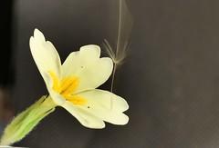 Intentional blur (AngharadW) Tags: angharadw dandelionseed primrose seed intentionalblur macromonday