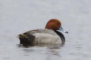 Redhead Duck (m)