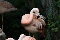 Chilean Flamingo (scv1_2001) Tags: nikon nikon70200mmvrii nikond750 taipeizoo bird animal 台北市立動物園