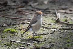 Female Red-capped Robin DSC_3218 (BlueberryAsh) Tags: woodlandshistoricpark birds femaleredcappedrobin redcapped robin bird australianbird tamron 150600 nikon 750