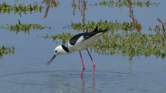 Black-winged Stilt (Rodger1943) Tags: stilts blackwingedstilt waders waterbirds australianbirds fz1000 4k