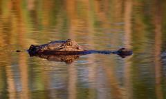 American Alligator (ashockenberry) Tags: alligator nature naturephotography gator marsh swamp south carolina canon 5d mark iii 150600 outdoor travel teeth