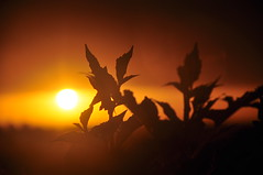 Sunrise Silhouettes (missgeok) Tags: sunrise silhouettes leaves sun sydney australia nsw newsouthwales mood warm newday newbeginning morning lighting colours red orange beautiful atmosphere composition