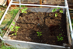 Raised Bed (thelox714) Tags: lemon corn backyard gardening eggplant tomatoes pomegranate carrots artichoke urbangardening bluejadecorn