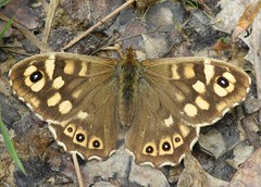 Speckled Wood (Pararge aegeria) (Rezamink) Tags: uk butterflies speckledwood parargeaegeria