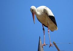 Cigogne blanche - ciconiaciconia (PhotoDaika) Tags: bird nature birds canon wildlife aves lg avian oiseaux ciconiaciconia canonpowershotsx50hs