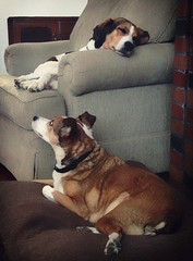 Are you sleepin' again? (GBaker63) Tags: sleeping dogs mixedbreed jackrussellterrier foxhound appleiphone5