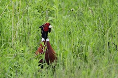 What's up ? (Kimages2c) Tags: bird field pheasant ringneckedpheasant