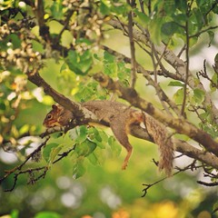 Siesta I (liquidnight) Tags: camera tree cute animals oregon portland relax backyard nikon nap bokeh wildlife branches lounge urbanwildlife perch siesta rest pdx balance laurelhurst comfy ornamentalpear foxsquirrel d90 easternfoxsquirrel sciurusniger instagram uploaded:by=flickrmobile flickriosapp:filter=nofilter