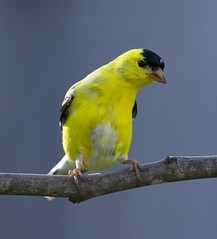 Swaggering Goldfinch_DSC7678 (DansPhotoArt) Tags: bird nature fauna garden backyard nikon wildlife goldfinch aves finch freshness passaros swaggering d7100 avianexcellence