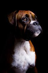 Mmm... Shortbread (Danny Beattie) Tags: boxerdog strobist elinchromranger georgetheboxer