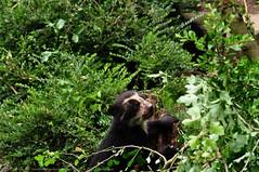 brilbeer - Tremarctos ornatus - Spectacled Bear (MrTDiddy) Tags: bear baby beer mammal zoo cub o antwerpen bril zooantwerpen br spectacled ornatus zoogdier welp brilbeer tremarctos