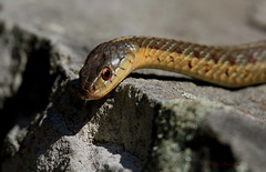 Garter Snake (Diane Marshman) Tags: brown garter rock tongue closeup snake stripes tan spots scales