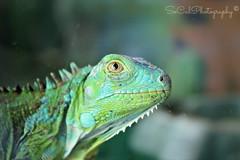 Iggy (socalgal_64) Tags: portrait usa pet green nature animal newjersey eyes iggy reptile ngc nj lizard iguana scales atlanticcity specanimal mygearandme mygearandmepremium mygearandmebronze