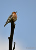 On Top Of The World (Stephen Whittaker) Tags: nikon chaffinch d5100 whitto27