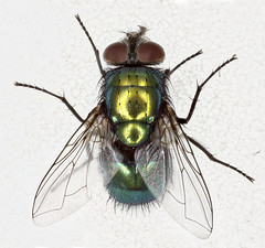 Lucilia sericata (Chris_Moody) Tags: macro green canon insect fly flying bottle education metallic flash wing science blow stack ring collection 7d educational common winged greenbottle stacked specimen reference entomology blowfly diptera forensic stacker mpe 65mm lucilia ento zerene sericata mr14ex entomological 15x luciliasericata taxonomy:binomial=luciliasericata