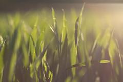 green grass (juliaschilling) Tags: summer sun green nature canon day clear gras grn manualfocus flar manuallens canoneos600d apoelmaritr10028
