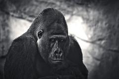 Silverback (Sebastian-Ziegler) Tags: portrait black nature animal animals zoo monkey tiere blackwhite emotion gorilla natur hannover portrt jungle ape sw muscleman hanover primate schwarz tier simian silverback affe dschungel primat gefhl silberrcken anthropoid