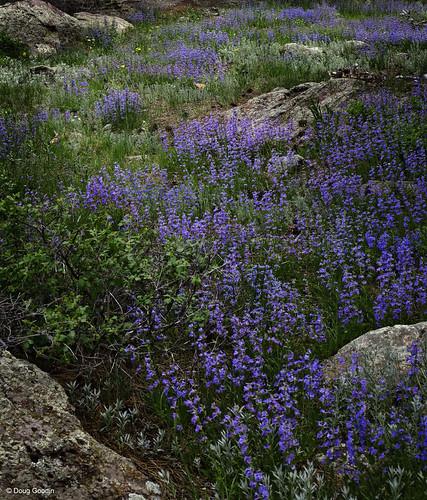 Photo - Blue Mist Penstemon blooming in May.