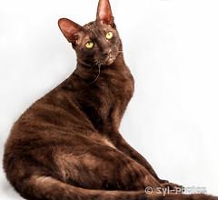 Rex Cornish (syl-photos) Tags: portrait pet brown canada cat chat quebec qubec brun purebredcat sylviel shootingphotos animaldomestique lufio rexcornish chatderace sylphotos