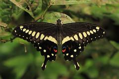 Papilio lormieri (zimbart) Tags: africa butterflies insects lepidoptera papilio drcongo papilionidae papiliolormieri yangambi cobimfo