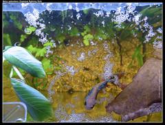fish tank betta bettasplendens lowtech siamesefightingfish fightingfish