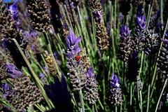 Joaninha, Mariquita, Catarina, Chinita ou Vaquita de San Antonio? (JAIRO BD) Tags: ladybug catarina joaninha chinita mariquita vaquitadesanantonio