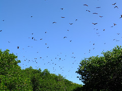 Bats! (vitch) Tags: flores june indonesia fly bat flyingfox bats riung 2013 eastnusatenggara 17islandsmarinepark kl_photoset:name=17islands