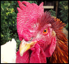 Beady eye (sallonoroff) Tags: red orange eye chicken watching cock fowl comb beady cockerel watchful beadyeye appleiphone4