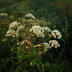 Angelica (Sigrid de Vries - Frensen) Tags: sunset summer nature evening thenetherlands august zomer groningen avond noordhorn hamsterpad
