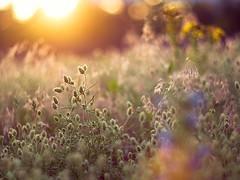 Wiese (~janne) Tags: sky sun berlin 50mm weide sonnenuntergang sundown f14 meadow wiese himmel olympus pasture environment sonne mitte wetzlar umwelt leitz moabit manuell summiluxr e520
