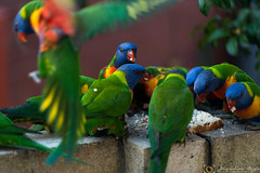 Add another chair! (Jacqueline Boyle) Tags: red orange green bird nature yellow flying colorful eating bricks sydney parrot australia colourful rainbowlorrikeets