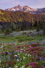 Road to Paradise, Mt. Rainier National Park (~EAJ~) Tags: paradise anemone rainier mtrainier lupine mtrainiernationalpark pinnaclepeak plummerpeak