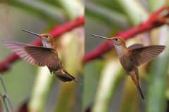 Colibr caf XXII (Jos M. Arboleda) Tags: bird canon eos colombia hummingbird jose ave 5d colibr arboleda markiii trochilidae ef400mmf56lusm coconuco apodiforme mygearandme josmarboledac blinkagain bestofblinkwinners troquilinos
