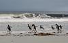 Time for a swim (mbleke) Tags: sea beach southamerica swim penguin falklands penguincolony gentoopenguin falklandisland wildpenguin