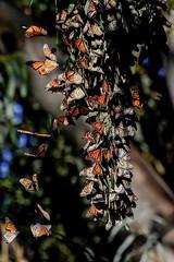 City in the Trees (Tōn) Tags: california santacruz nature unitedstates butterflies insects naturalbridges monarchbutterflies cityinthetrees butterflycluster tonyvanlecom